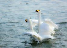 Perseguindo uma cisne fotos de stock