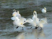 Perseguindo uma cisne fotografia de stock royalty free