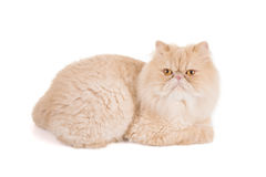 Perser kräm-färgad katt på en vit bakgrund Arkivfoton