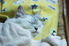 Perser plus sömn för maine tvättbjörnkatt på säng Arkivfoton