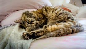 Perser-tricolor katt i säng royaltyfri fotografi