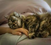 Perser-tricolor katt som sover och kopplar av på en hand för kvinna` s arkivfoto