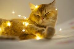 Persergarfield-Katze, die auf dem Bett mit glänzendem Licht sitzt stockbilder