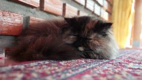 Perserkatt som sover på matta, slut upp och skott för låg vinkel lager videofilmer
