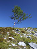 Perseverance. Twisted and gnarled birch. Stunted tree in Norway Stock Images