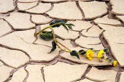 Persevere. Wilted flower strives to live in a dried up mud puddle in Death Valley Royalty Free Stock Image