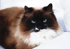 Pershian cat on the sofa. Brown pershian cat relaxing on the sofa Stock Photo