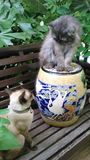 Persia cat and Siamese cat Royalty Free Stock Image