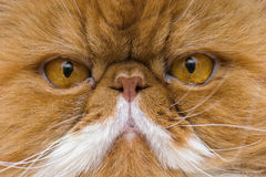 Persian. A closeup on a face of a Persian cat Royalty Free Stock Photo