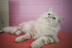 Persian adorable cat, close-up funny fluffy face Royalty Free Stock Images