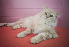 Persian adorable cat, close-up funny fluffy face Stock Photos