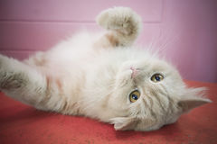 Persian adorable cat, close-up funny fluffy face Stock Images