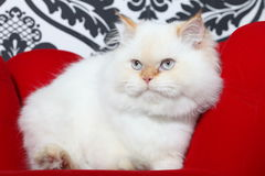 Persian aristocratic cat Stock Photos