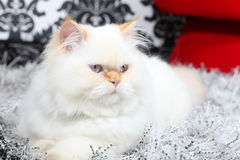 Persian aristocratic cat Royalty Free Stock Images