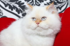 Persian aristocratic cat Royalty Free Stock Photo