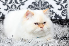 Persian aristocratic cat royalty free stock photos