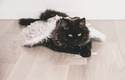Persian black cat like a angel royalty free stock photos