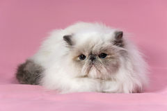 Persian blue point cat Royalty Free Stock Photography