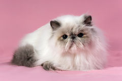 Persian blue point cat Royalty Free Stock Images