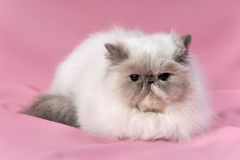 Persian blue tortie point cat Stock Photos