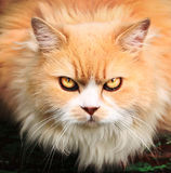 Persian breed cat with ferocious look close up outdoor portrait Royalty Free Stock Image
