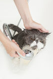 Persian breed cat taking a shower. Persian breed cat enjoing a bath in a bathtub Stock Photo