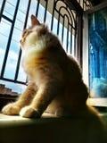 Persian Brown Cat royalty free stock image