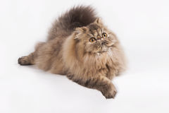 Persian Brown Tabby. A carpet like cat laying on the studio for photo shooting, too fat! cant really move Stock Photo