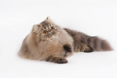 Persian Brown Tabby. A Flurry cat with its relaxing day royalty free stock photo
