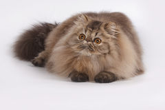 Persian Brown Tabby. A Flurry cat with its relaxing day as a carpet royalty free stock images