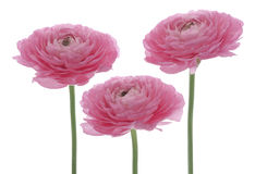 Persian buttercup royalty free stock photos