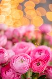 Persian buttercup. Bunch Crimson pink ranunculus flowers in Glass vase. Garland bokeh on background. Vertical Wallpaper royalty free stock photography