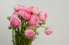 Persian buttercup. Bunch pale pink ranunculus flowers light background. Persian buttercup. Bunch pale ranunculus flowers light background. Wallpaper, Horizontal royalty free stock image