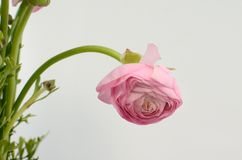 Persian buttercup. Bunch pale pink ranunculus flowers light background. Persian buttercup. Bunch pale ranunculus flowers light background. Wallpaper, Horizontal royalty free stock photo