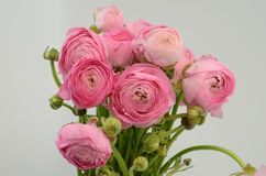 Persian buttercup. Bunch pale pink ranunculus flowers light background. Persian buttercup. Bunch pale ranunculus flowers light background. Wallpaper, Horizontal royalty free stock photography