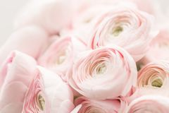 Persian buttercup. Bunch pale pink ranunculus flowers light background. Wallpaper, Horizontal photo. Persian buttercup. Bunch pale pink ranunculus flowers light royalty free stock photos