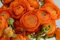 Persian buttercup. Bunch pale orange ranunculus flowers light background. Persian buttercup. Bunch pale ranunculus flowers light background. Wallpaper royalty free stock images