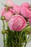 Persian buttercup. Bunch pale pink ranunculus flowers light background. Persian buttercup. Bunch pale ranunculus flowers light background. Wallpaper, Horizontal stock photo