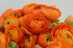 Persian buttercup. Bunch pale orange ranunculus flowers light background. Persian buttercup. Bunch pale ranunculus flowers light background. Wallpaper royalty free stock photography