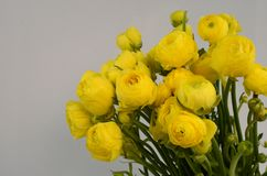 Persian buttercup. Bunch pale yellow ranunculus flowers light background. Persian buttercup. Bunch pale ranunculus flowers light background. Wallpaper royalty free stock photos