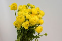Persian buttercup. Bunch pale yellow ranunculus flowers light background. Persian buttercup. Bunch pale ranunculus flowers light background. Wallpaper royalty free stock image