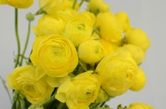 Persian buttercup. Bunch pale yellow ranunculus flowers light background. Persian buttercup. Bunch pale ranunculus flowers light background. Wallpaper stock image