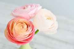Persian buttercup flowers Stock Images