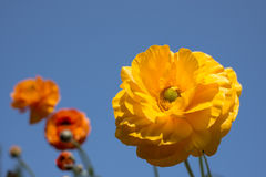 Persian buttercup flowers Stock Photography