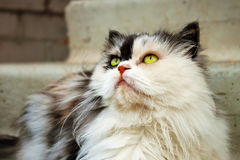Persian calico cat. With green eyes royalty free stock photos