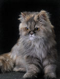 Persian cat. Portrait sitting a persian cat Royalty Free Stock Photography