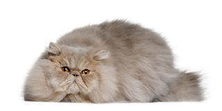 Persian cat, 11 months old Royalty Free Stock Photos