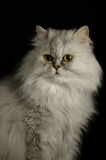 Persian cat. A Persian cat on the black background Royalty Free Stock Photos