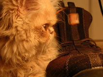 Persian Cat. Near The Shoe Royalty Free Stock Photos