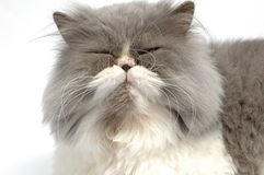 Persian cat. Having a nap Royalty Free Stock Photos